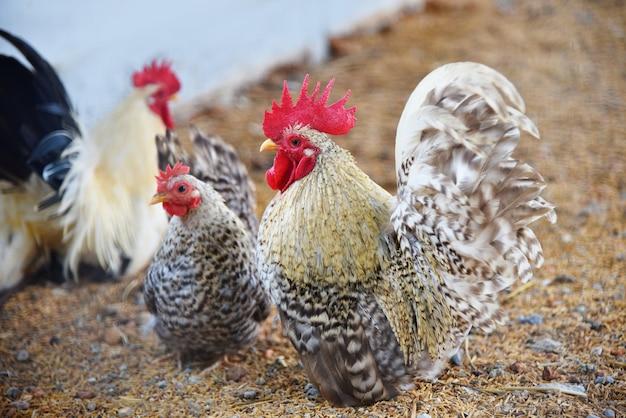 Schöner hühnerhahn-zwerghuhn kräht im bauernhof - weißer zwerghuhnhahn
