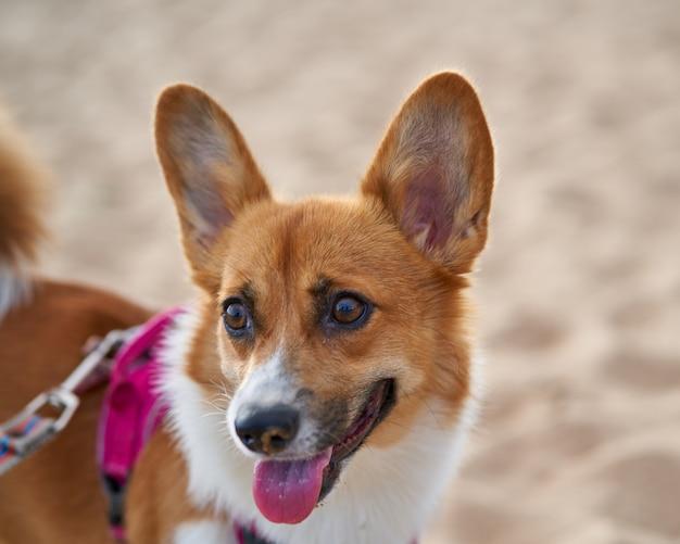 Schöner hund am sandstrand