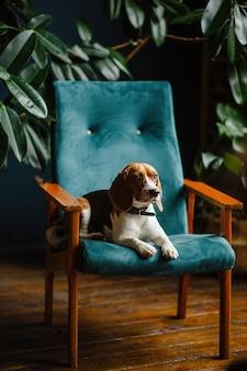 Schöner hund beagle, der auf einem grünen stuhl im innenraum der wohnung sitzt