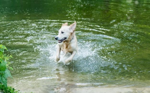 Schöner hund, der spaß im fluss hat