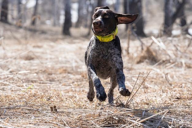 Schöner hund läuft über das feld. draußen spielen. glücklicher kleiner hund. hundeporträt. sport, training, laufen.