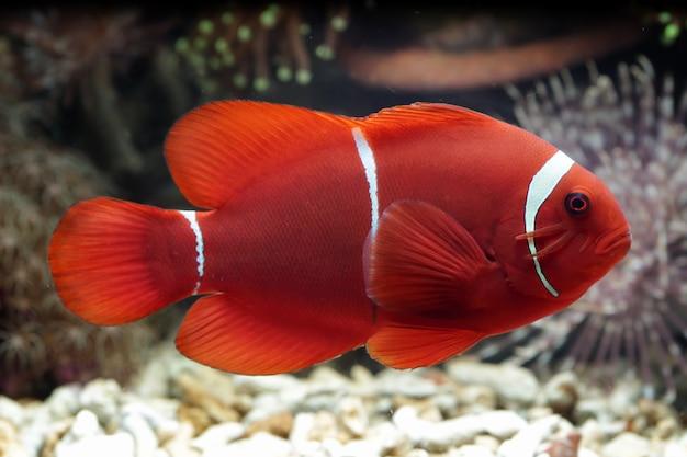 Schöner indonesischer meeresfisch auf tropischer koralle