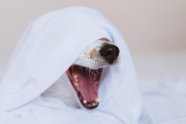 Schöner jack russell hund, der zu hause auf dem bett gähnt, das mit einem weißen laken bedeckt wird. haus, drinnen und lifestyle-konzept