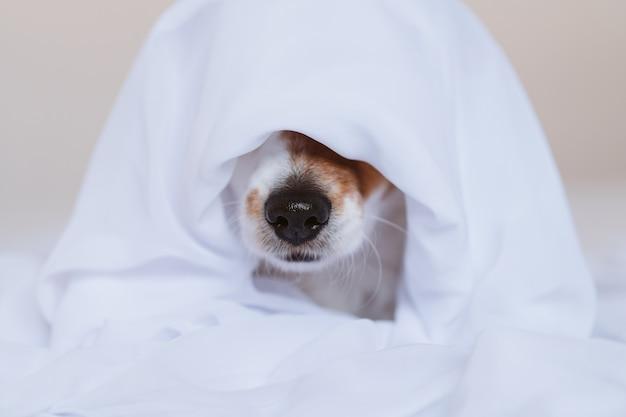 Schöner jack russell hund zu hause auf dem bett bedeckt mit einem weißen laken. haus, drinnen und lifestyle-konzept