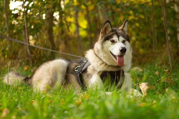 Schöner junger hund der rasse alaskan malamute, der in den sonnenstrahlen auf einer oberfläche des grüns und des grases liegt