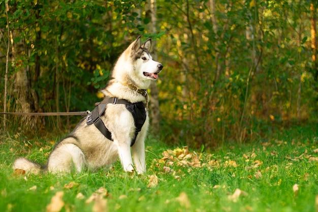 Schöner junger hund der rasse alaskan malamute, der in den sonnenstrahlen auf einer oberfläche des grüns und des grases sitzt