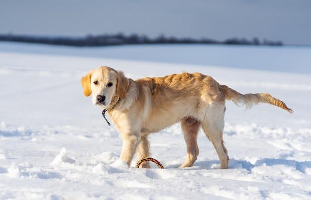 Schöner junger retrieverhund, der draußen im winter geht