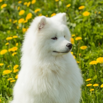 Schöner junger samoyedhund auf a des grases und des löwenzahns