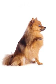 Schöner karamellfarbener hund