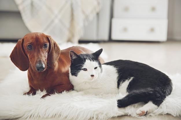 Schöner katzen- und dackelhund auf teppich, innen