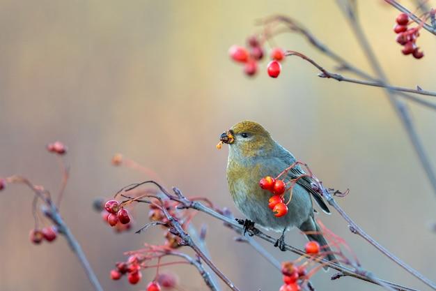 Schöner kiefernkernschnabel, pinicola-enukleator, weiblicher vogel, der sich im herbst von beeren ernährt