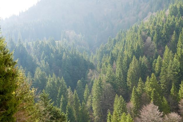 Schöner kiefernwald in der schweiz