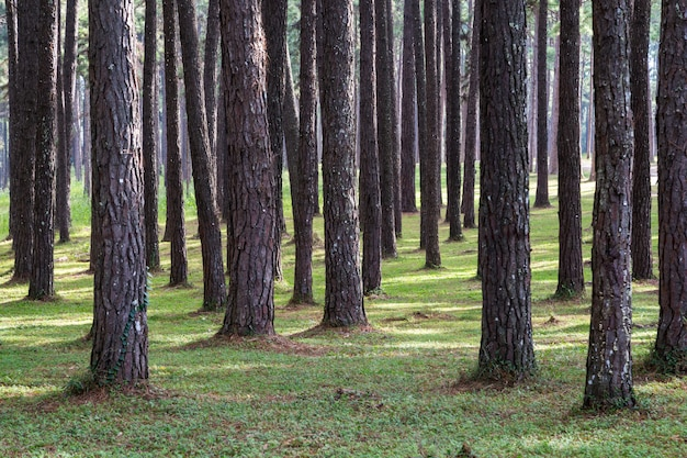 Schöner kiefernwald mit zeit des grünen grases und des sonnenlichts im frühjahr.