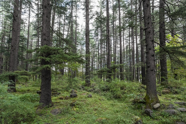 Schöner kiefernwald