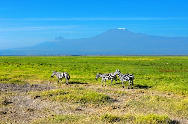 Schöner kilimanjaro-berg und zebras, kenia, amboseli-nationalpark, afrika