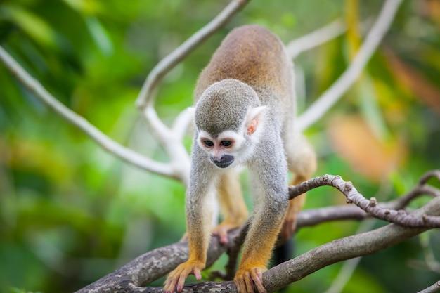 Schöner kleiner eichhörnchenaffe
