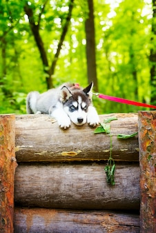 Schöner kleiner welpe des siberian husky mit roter hundeleine liegt auf einem holzzaun