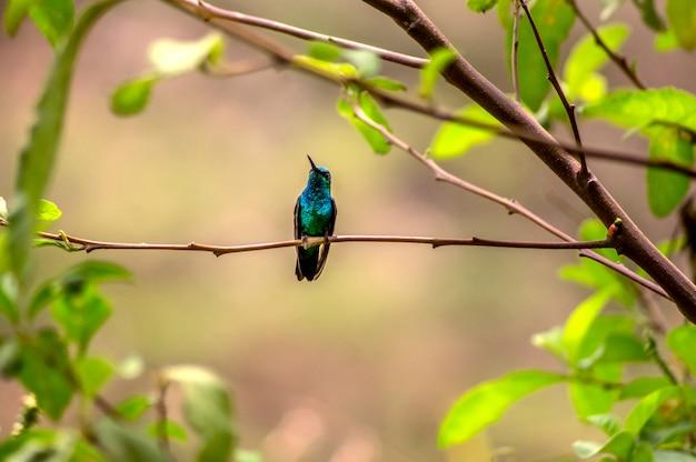Schöner kolibri, der auf einem zweig ruht