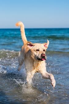 Schöner labrador-hund, der spaß am strand hat