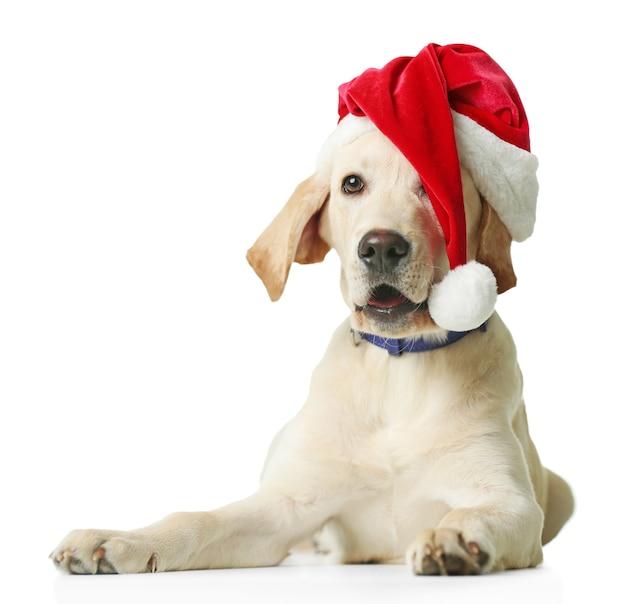 Schöner labrador retriever in der weihnachtsmütze auf weiß