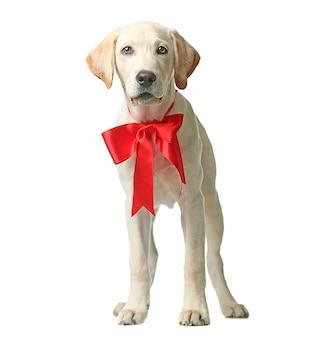 Schöner labrador retriever mit roter schleife auf weißem hintergrund