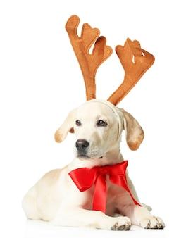 Schöner labrador retriever mit roter schleife und dekorativen hirschhörnern isoliert auf weißem hintergrund