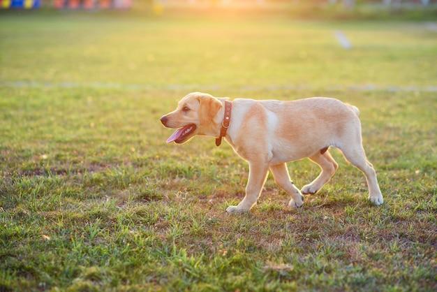 Schöner labradorwelpe, der auf dem rasen bei sonnenuntergang oder sonnenaufgang spielt
