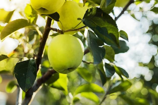 Schöner leckerer grüner apfel auf zweig des apfelbaums im obstgarten. herbsternte im garten draußen.