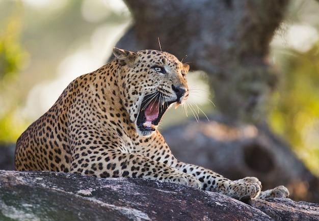 Schöner leopard, der auf einem großen stein entspannt