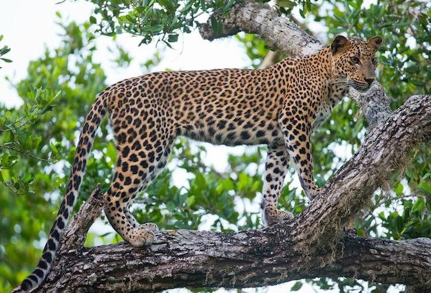 Schöner leopard, der auf einem zweig entspannt