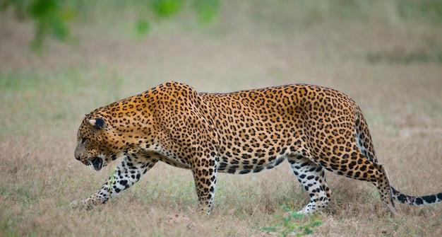 Schöner leopard, der in der natur geht