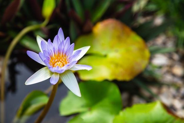 Schöner lila lotus im wasser