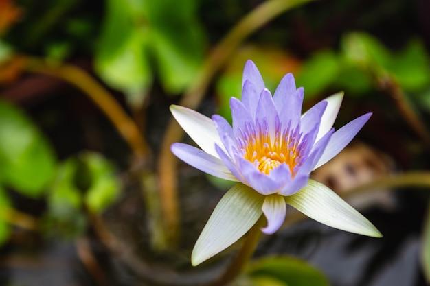 Schöner lila lotus im wasser Premium Fotos