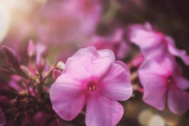 Schöner lila phlox auf unscharfem hintergrund. phlox blume nahaufnahme im garten erschossen. natürliche schönheit.