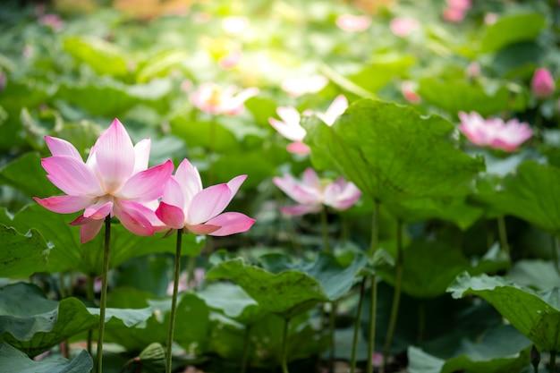 Schöner lotos der nahaufnahme zwei, der mit grünem blatt mit sonnenlicht im see blüht.