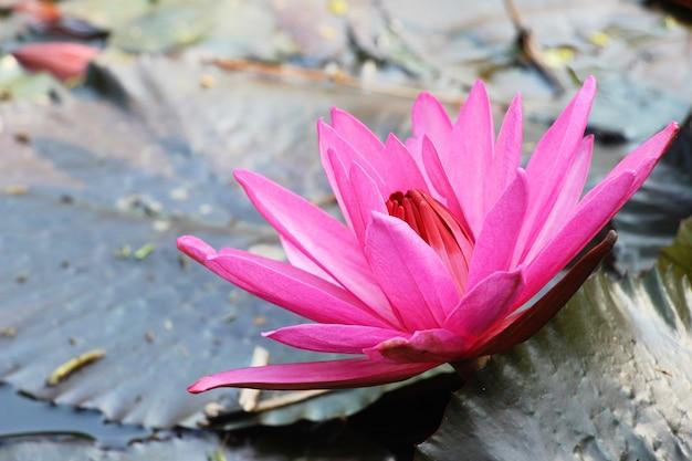 Schöner lotos im teich mit natur