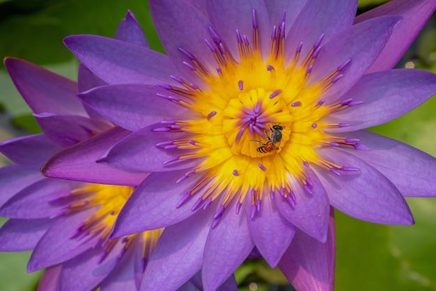 Schöner lotos schwimmt gegen dunklen hintergrund, eine biene auf einer lotosblume