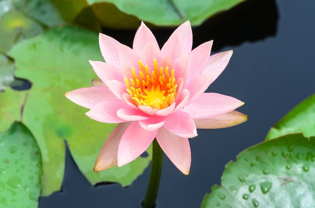 Schöner lotus blüht im teich