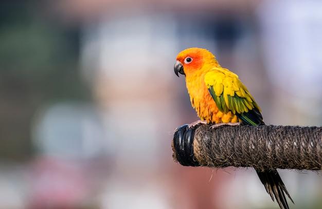 Schöner macore-papageienvogel auf der niederlassung