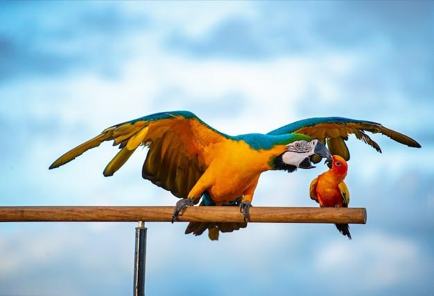 Schöner macore papageienvogelpapagei, der auf einem hölzernen schiene asien thailand steht