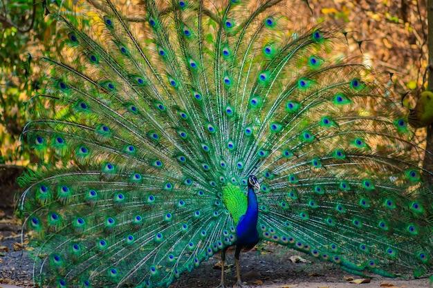 Schöner männlicher indischer pfau, der seine federn zeigt