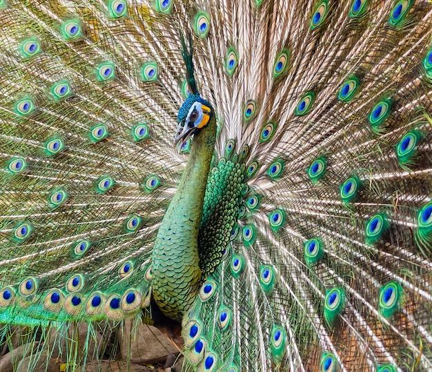 Schöner männlicher pfau, der seinen schwanz zeigt