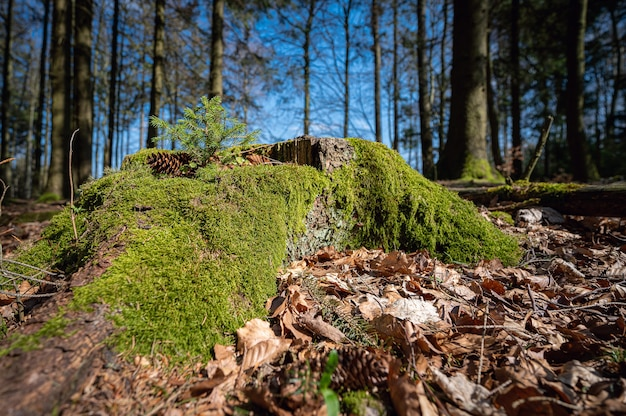 Schöner moosbedeckter baumstamm im wald gefangen in neunkirchner höhe, odenwald, deutschland