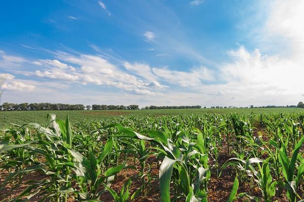Schöner morgensonnenaufgang über dem maisfeld