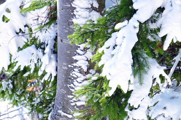 Schöner nadelbaum bedeckt mit schnee im wald am wintertag