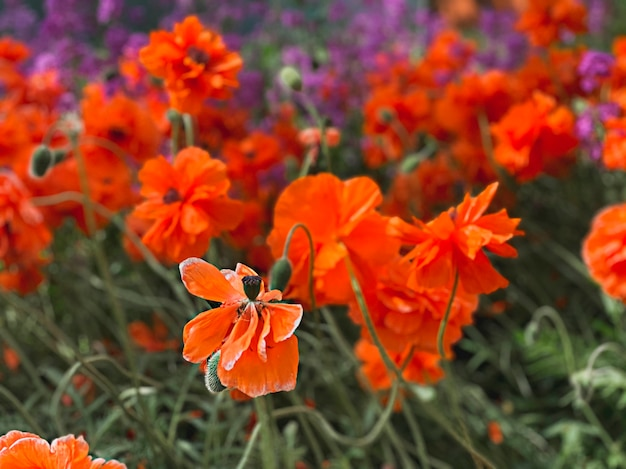 Schöner natürlicher hintergrund, eine lichtung von mohnblumen und eine mohnblume mit selektivem fokus.