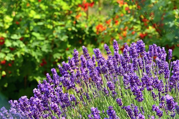 Schöner natürlicher hintergrund in einem garten mit einer blühenden lavendelblume.