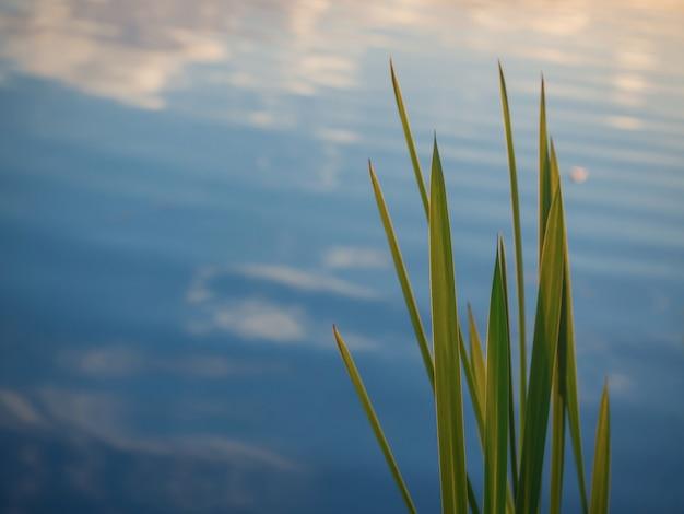 Schöner natürlicher hintergrund mit schilfblättern gegen das blau des wassers