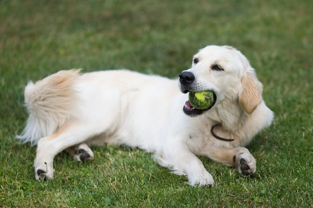 Schöner niedlicher goldener retriever, der mit einem ball auf grünem gras spielt.