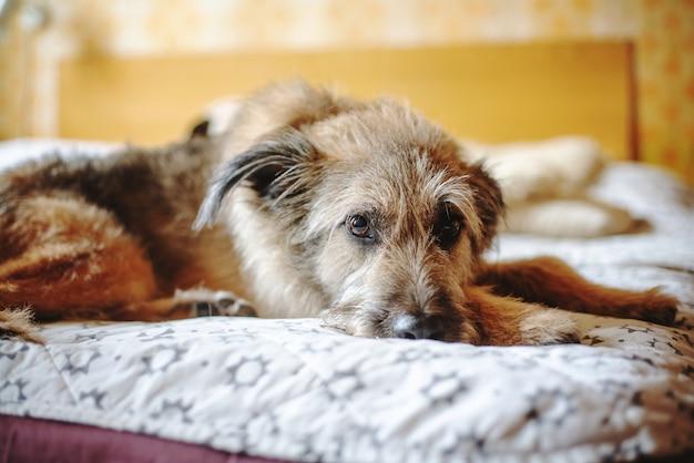 Schöner niedlicher lustiger flauschiger hund liegt zu hause auf dem bett.